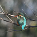 Kingfisher -202001190026-3.jpg