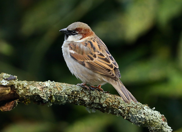House Sparrow ---- Passer domesticus
