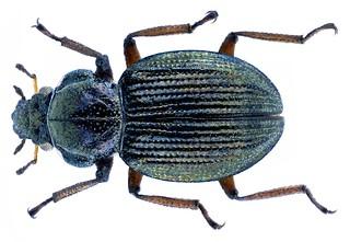 Ochthebius exsculptus Germar, 1824