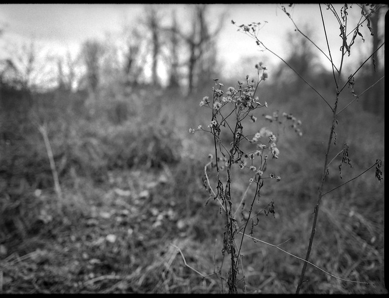 winter landscape, dried wildflowers, Biltmore Estate, Asheville, NC, Mamiya 645 Pro, Kodak Tri-X 400, Moersch Eco film developer, 1.10.19