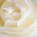 White Rose (I), 1.8.20