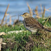 A87A4132 Water pipit
