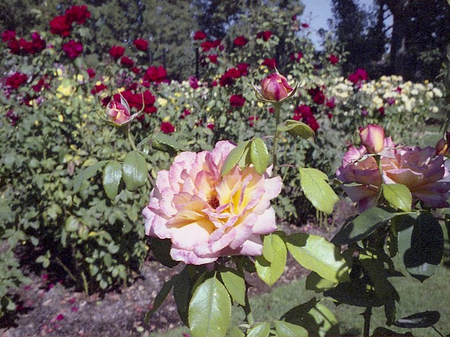 Roses on 110 film - HSS!