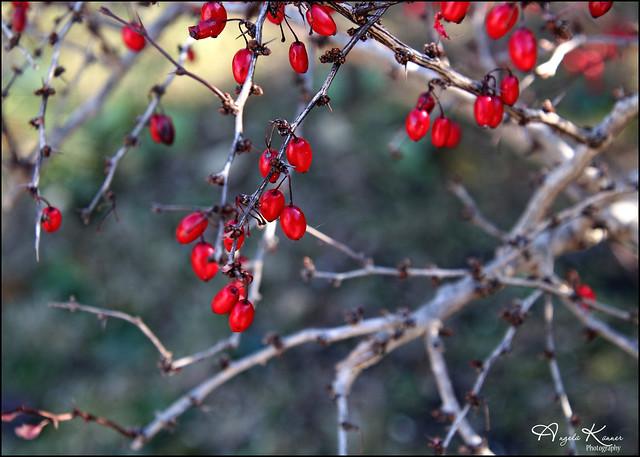 Red Berries...