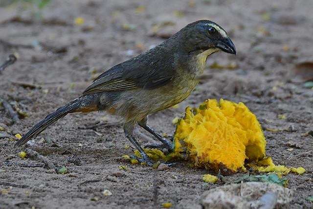 Brasilsaltator an Mango - Pousada Aguape