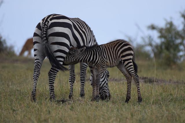 Plains Zebra (Equus quagga), Maasai Mara NP, Narok County, Kenya