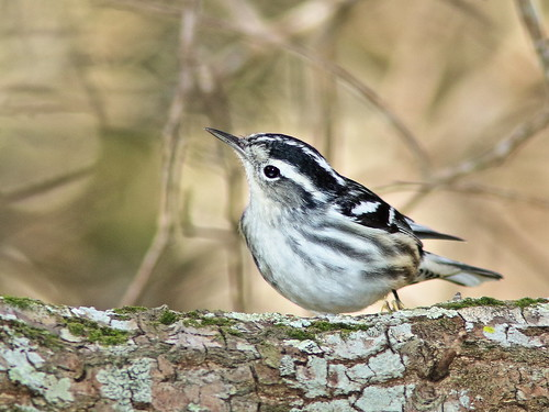 Black-and-White Warbler 02-20200118