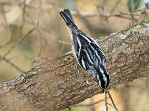 Black-and-White Warbler 04-20200118