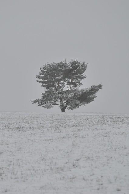 Kiefer im Schnee
