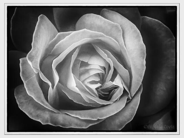 Una rosa - A rose