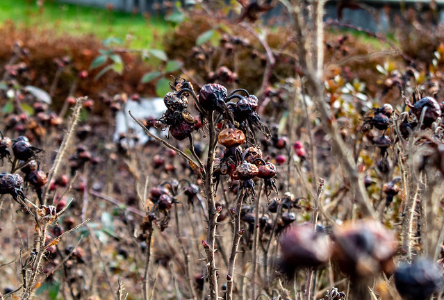 Dried Rose Hips at Green River College