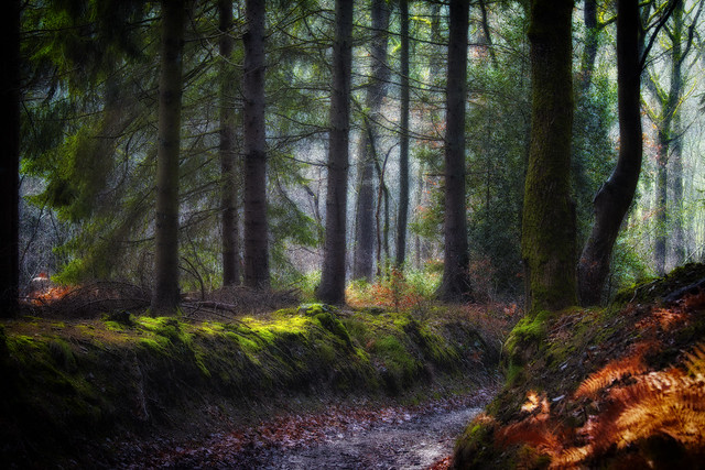 Light in the pine forest