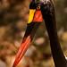Saddle-Billed Stork 3-0 F LR 10-5-19 J182