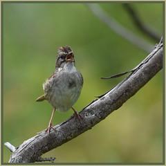 Swamp sparrow (♂)