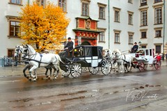 Spanish horses in Vienna in late November. Coooold! #vienna #austria