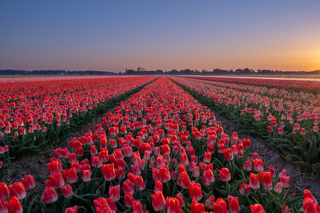 Tulip field and a sunset part 2