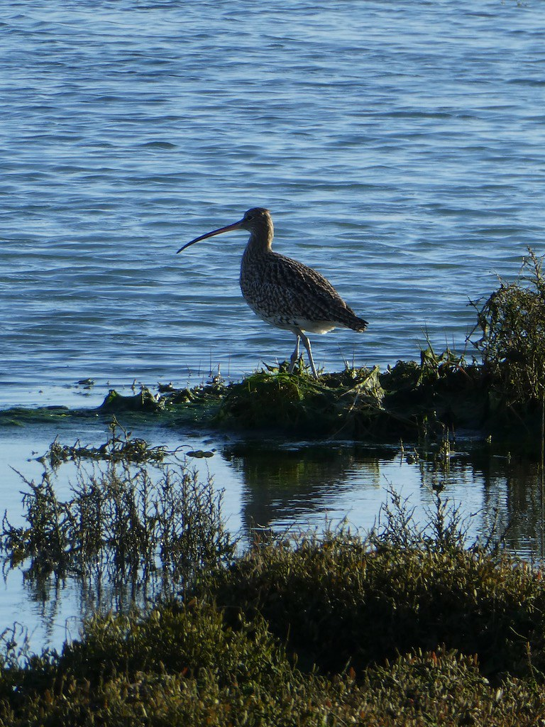 Curlew Thorney Island, Chichester Harbour