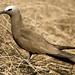Cervera, Brown Noddy (Anous stolidus stolidus)
