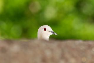 Rola turca - Collared Dove - Streptopelia decaocto (Vila Nova de Famalicão, Portugal)