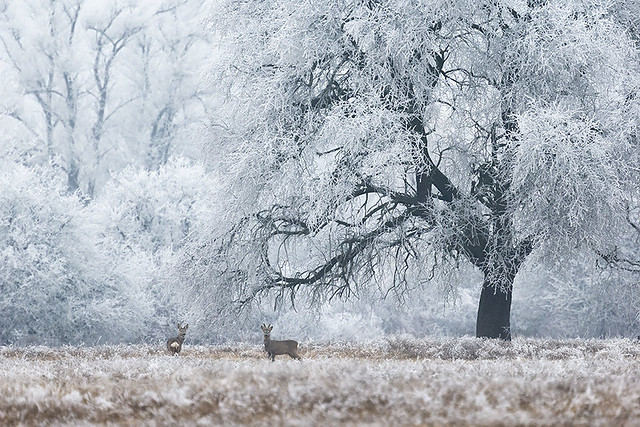 Rime-covered