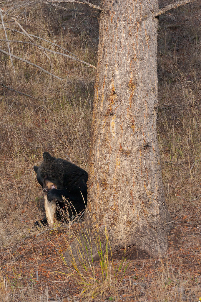 A black bear, half obscured behind a tree, gnaws on a large bone in Yellowstone National Park in Wyoming in October 2006