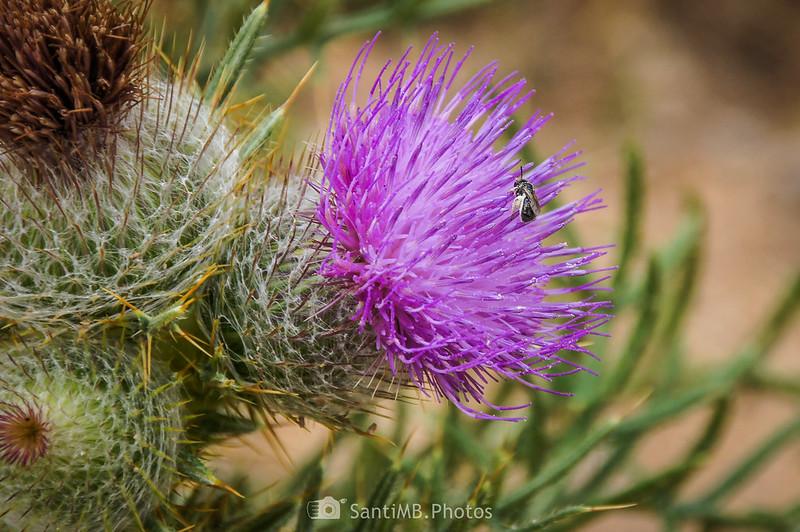 Abeja recolectando polen en flor de cardo
