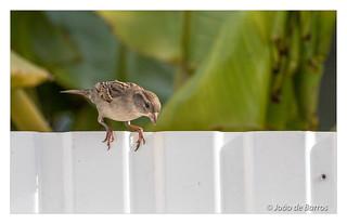 Sparrows in my backyard