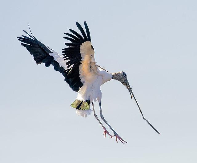 Wood Stork -Mycteria americana- in flight with nesting materials. Wakodahatchee Wetlands, Delray, FL.