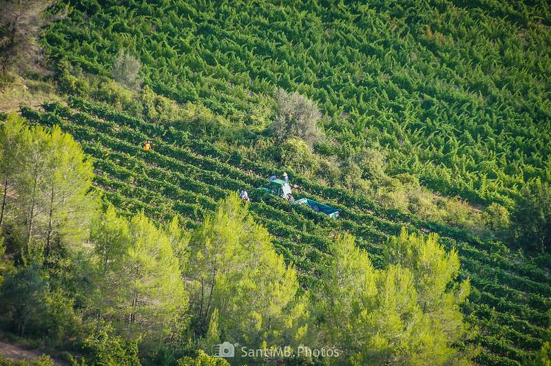 Vendimiando un viñedo cerca del Santuari de Foix