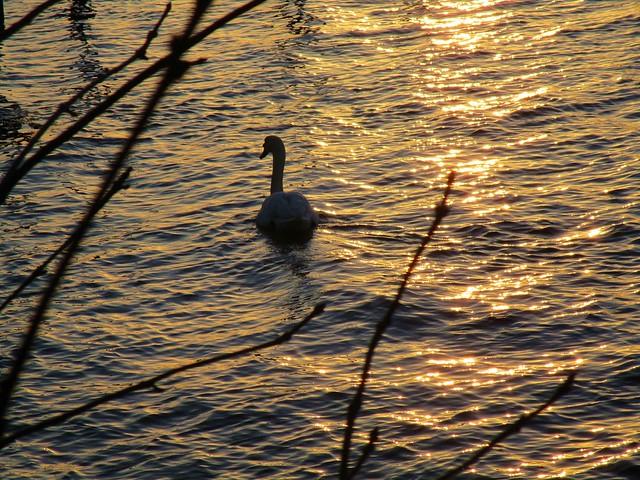 ein Schwan schwimmt im goldenen Wasser der Förde