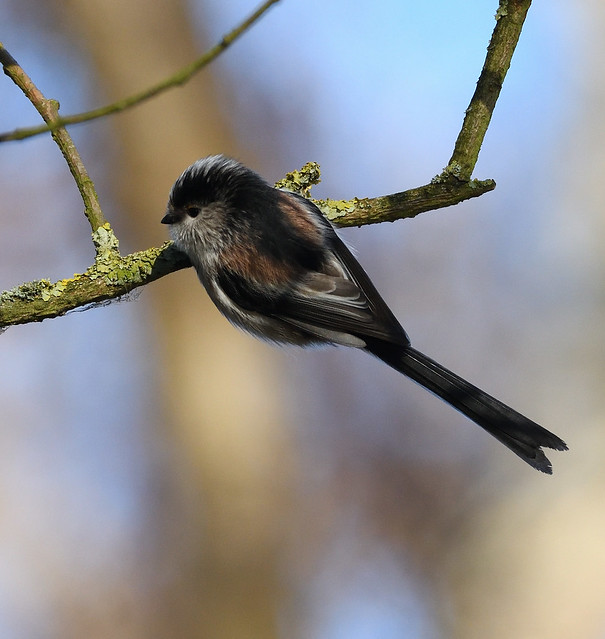 Long-tailed Tit_7324_