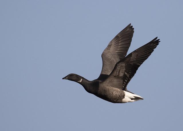 Brent goose ( branta bernicla )