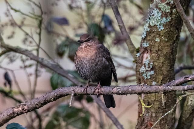 Amselweibchen / Female blackbird
