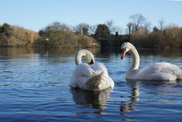 Two swans on little britain lake