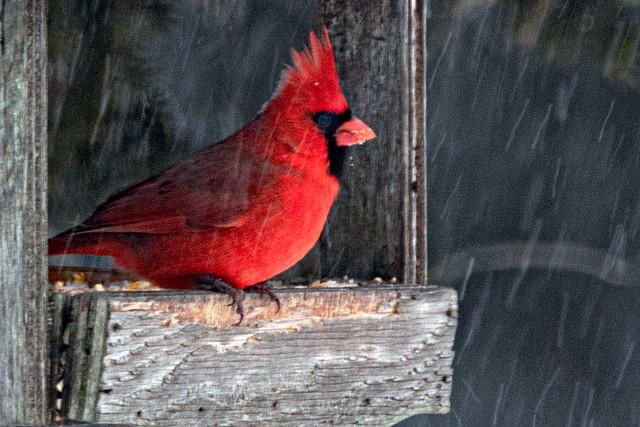 Cardinal Feeding during Snow Fall