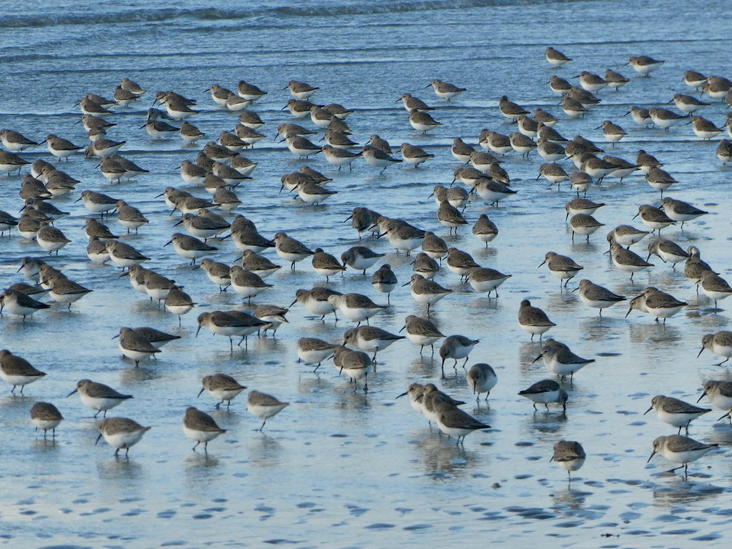 Dunlin waiting for the tide to go down Thorney Island, Chichester Harbour