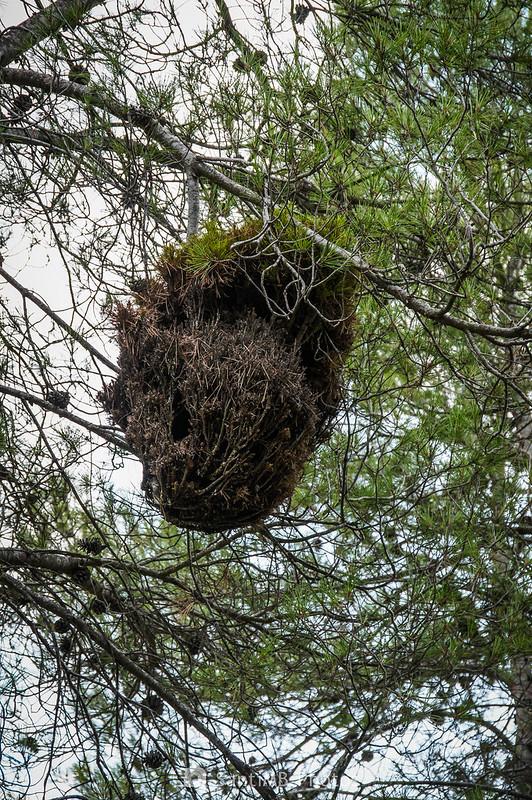 Escoba de bruja en un pino