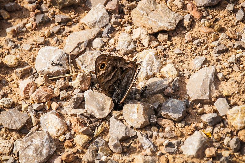 Hormigas metiendo una mariposa muerta en el hormiguero
