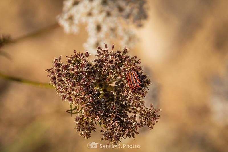 Chiche rallada sobre umbela de zanahoria silvestre