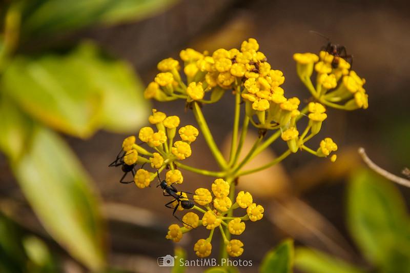 Hormigas sobre flores de matabueyes