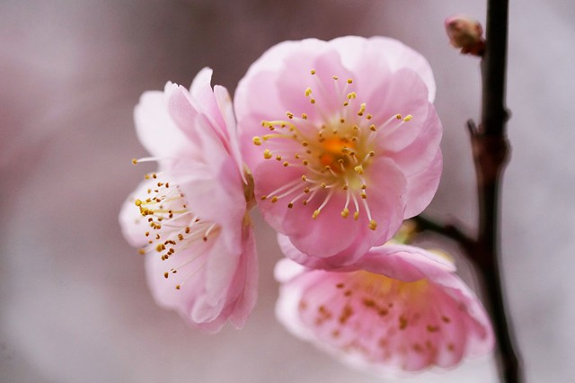 Flowering Apricot