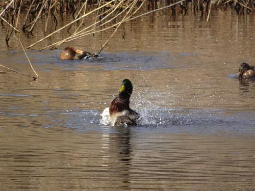 マガモ 北本自然観察公園の野鳥