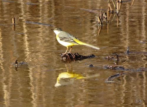 北本自然観察公園の野鳥 キセキレイ
