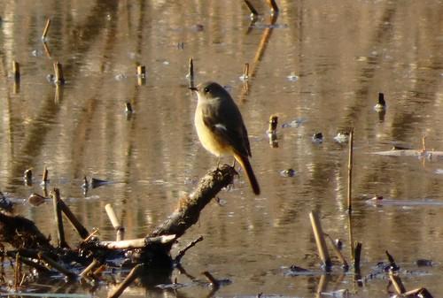 ジョウビタキ 北本自然観察公園の野鳥