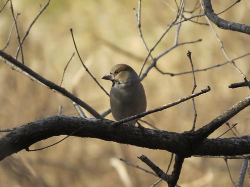 シメ 北本自然観察公園の野鳥