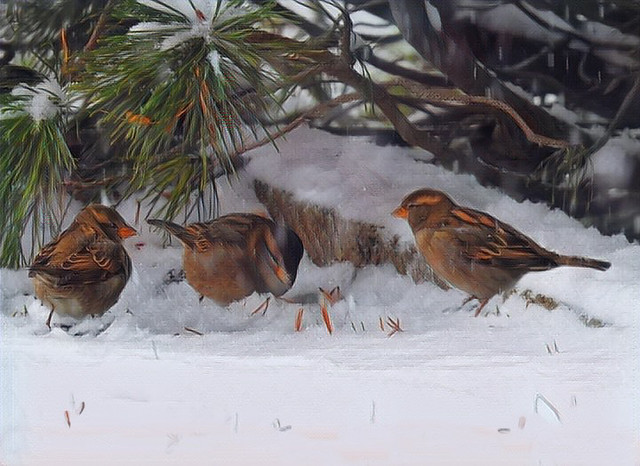 Sparrows in the Snow