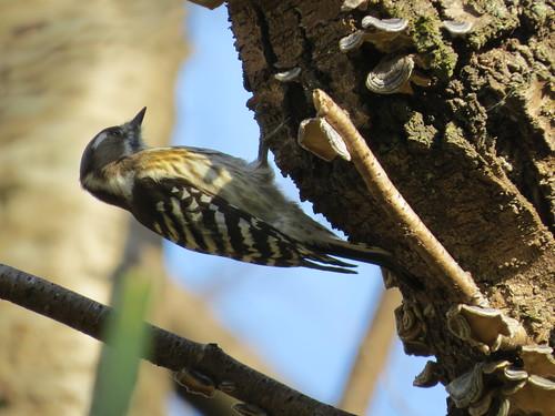 コゲラ 北本自然観察公園の野鳥