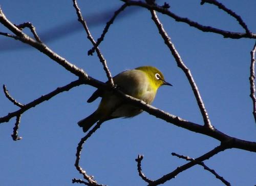 メジロ 北本自然観察公園の野鳥
