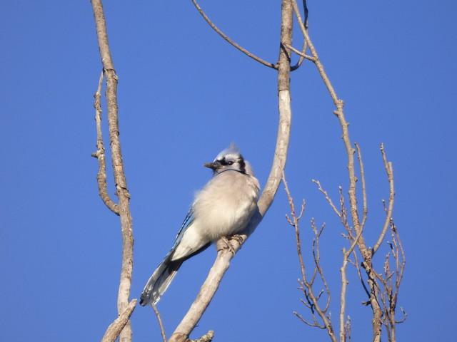 Blue Jay, Chisholm Trail, Plano, Texas, January 19, 2020