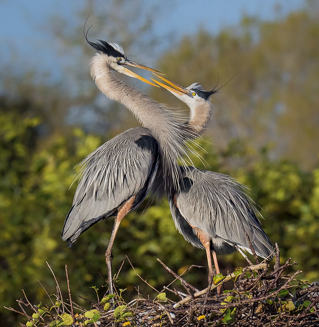 Love is in the air. Great Blue Herons in mating ritual. Wakodahatchee Wetlands, Delray Beach, Florida.